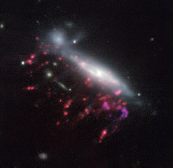 """Observations of """"Jellyfish galaxies"""" with ESO's Very Large Telescope  have revealed a previously unknown way to fuel supermassive black holes.  It seems the mechanism that produces the tentacles of gas and newborn  stars that give these galaxies their nickname also makes it possible for  the gas to reach the central regions of the galaxies, feeding the black  hole that lurks in each of them and causing it to shine brilliantly. This  picture of one of the galaxies, nicknamed JO204, from the MUSE  instrument on ESO's Very Large Telescope in Chile, shows clearly how  material is streaming out of the galaxy in long tendrils to the  lower-left. Red shows the glow from ionised hydrogen gas and the whiter  regions are where most of the stars in the galaxy are located. Some more  distant galaxies are also visible."""